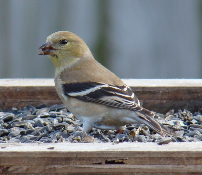 American Goldfinch1 (2)