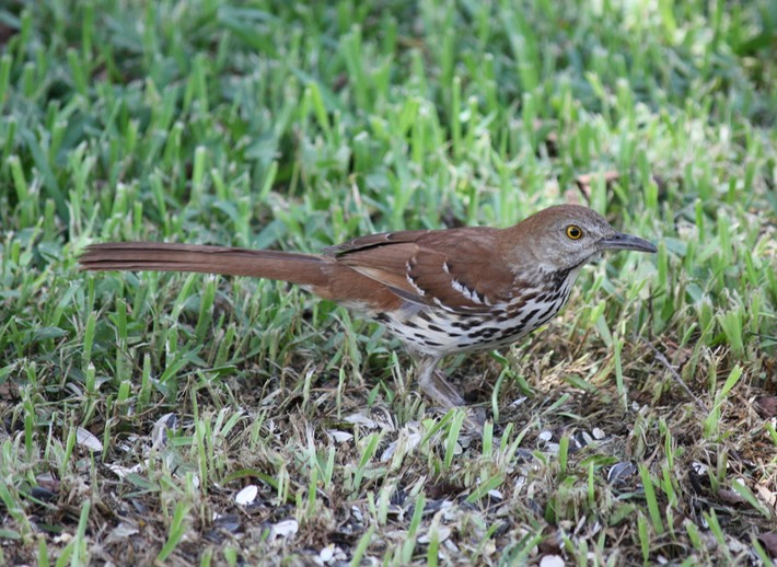 Brown Thrasher (2)