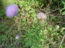 Cirsium discolor (Field Thistle) 4