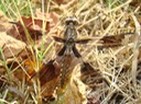 Common Whitetail Female - Plathemis lydia (3)