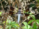 Common Whitetail Male - Plathemis lydia (3)