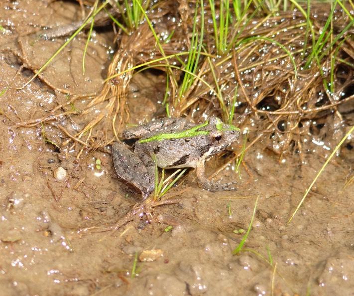 Southern Cricket Frog Natural History