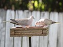 Eurasian Collared Dove (2)