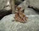 Gray Comma - Polygonia progne & Hackberry Emperor - Asterocampa celtis