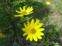 Helianthus occidentalis (Western Sunflower) 2
