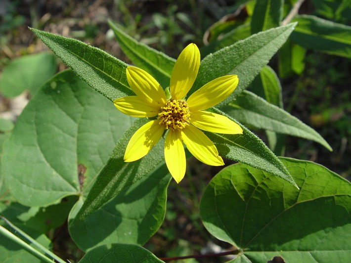 Helianthus divaricatus (Woodland Sunflower) 2