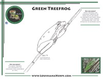 LARE Coloring Page - Green Treefrog