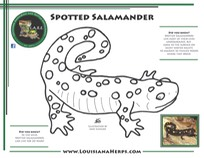 LARE Coloring Page - Spotted Salamander PRINT