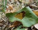 Pearl Crescent - Phyciodes tharos (3)