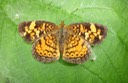 Pearl Crescent (Phyciodes tharos) (1)