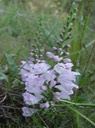 Physostegia virginiana (Obedient Plant, False Dragonhead) 3