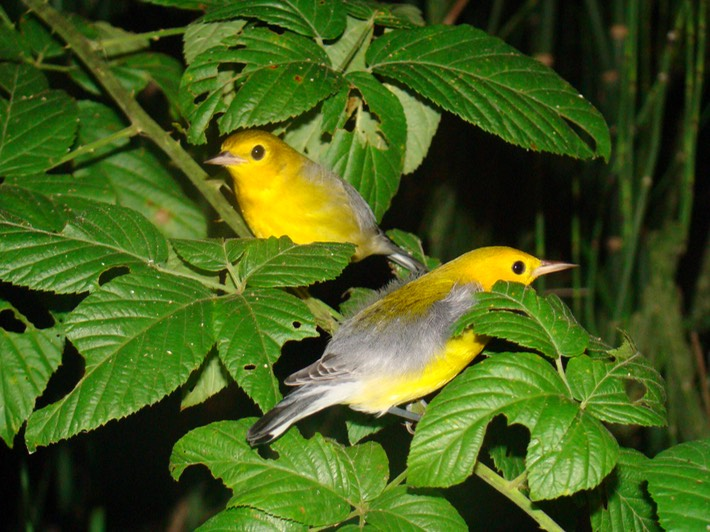 Prothonotary Warblers ATCH