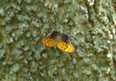 Question Mark - Polygonia interrogationis (5)