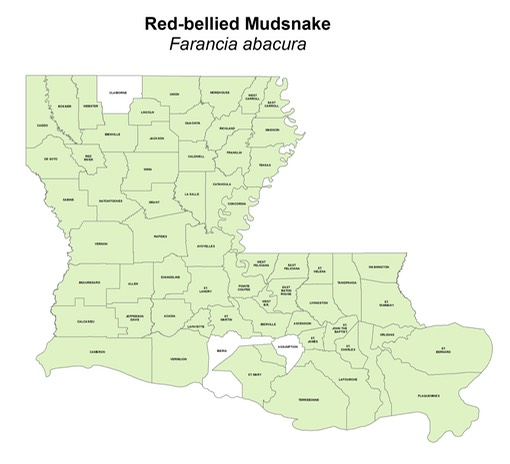 Red-bellied Mudsnake