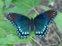 Red-spotted Purple - Limenitis arthemis astyanax (7)