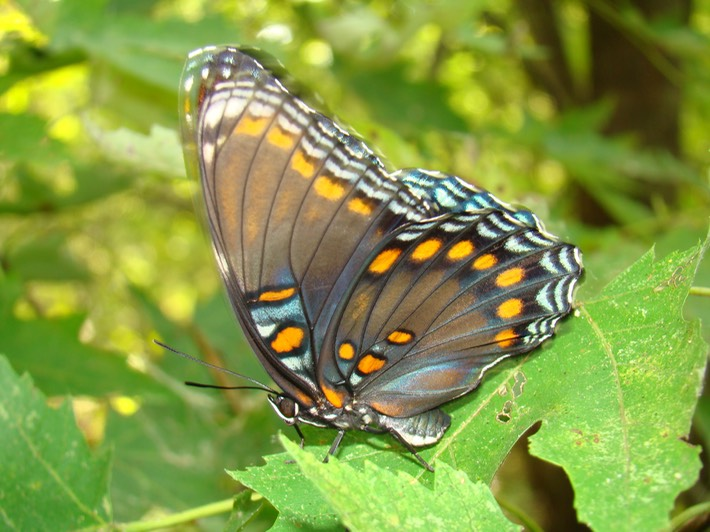 Red-spotted Purple - Limenitis arthemis astyanax (9)