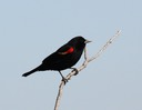 Red-winged Blackbird (2)