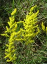 Solidago sp. (Goldenrod) 6