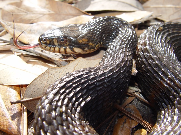 Southern Watersnake