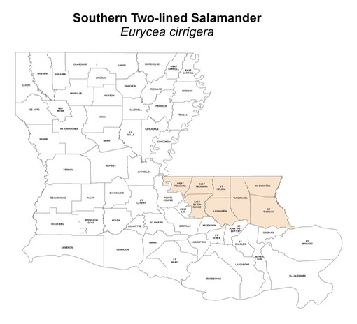 Southern_Two-lined_Salamander
