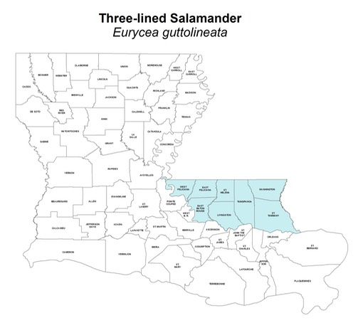 Three-lined_Salamander