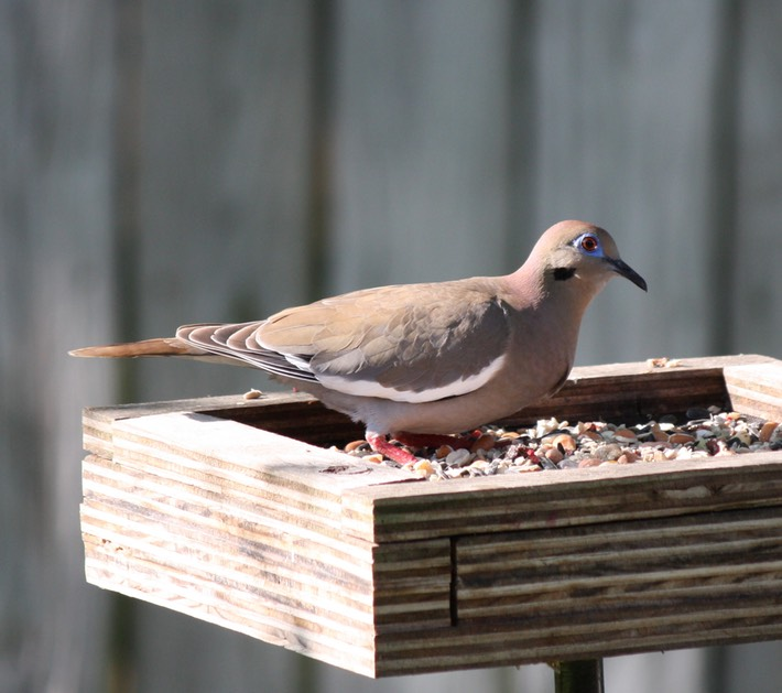 White-winged Dove (2)